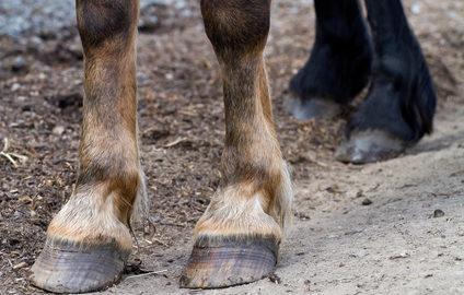 Mauke bei Pferden