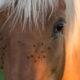 Fotolia / Insektenplage – Pferde vor Insekten schützen
