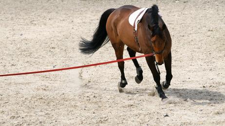 Fotolia / Longieren des Pferdes