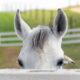 Fotolia / Körpersprache bei Pferden
