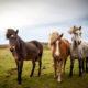 Die 10 beliebtesten Pferderassen der Deutschen