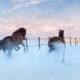 Pferderasse Westfale