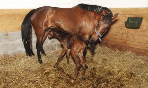 Die Geburt eines Fohlens